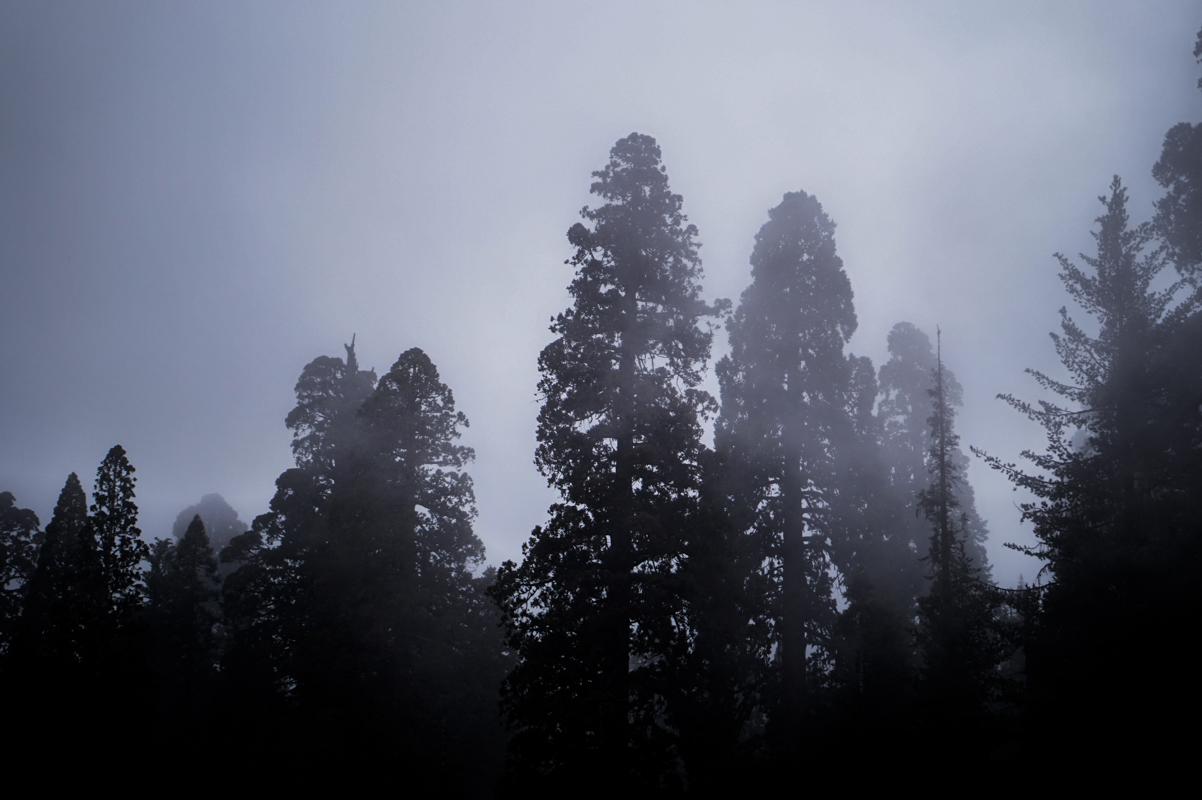 sequoia-54